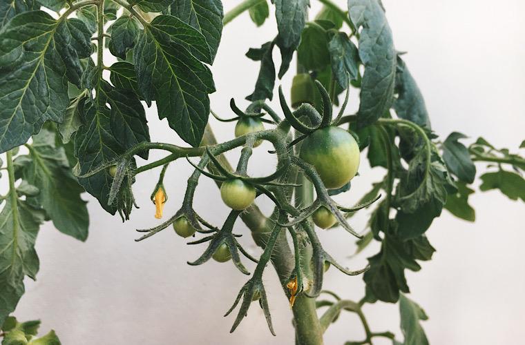 家庭菜園(トマト)